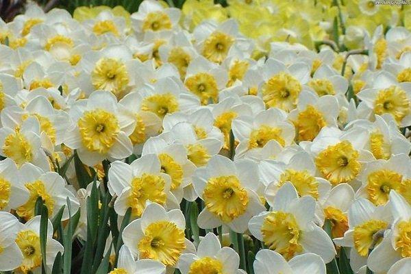 تولید 360 میلیون شاخه گل نرگس در کشور